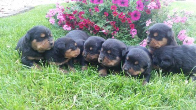 German Import Rottweilers For Sale In Grabill Indiana Classified