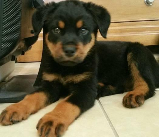 German Rottie Puppies