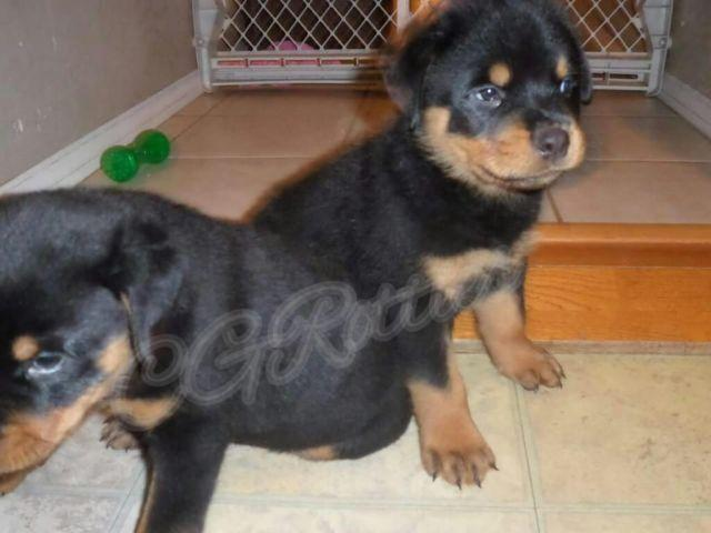 German Rottweiler Puppies Akc For Sale In Phoenix Arizona
