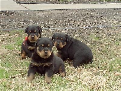 German Rottweiler Puppies For Sale In Memphis Tennessee
