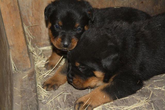 German Rottweiler Puppies For Sale In San Antonio Texas Classified