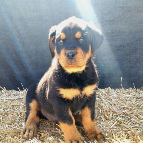 German Rottweiler Puppies For Sale In San Diego California