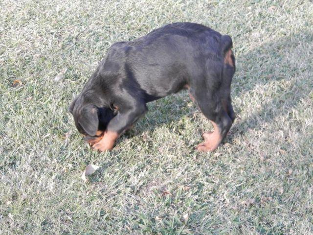 Dorkie Puppies For Sale In Houston Texas Classifieds Buy And Sell