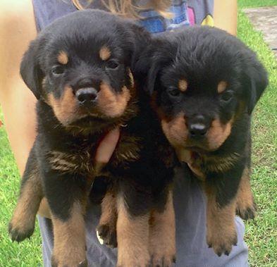 German Rottweiler Puppies For Sale In Philadelphia Pennsylvania