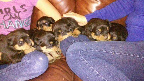 German Rottweiler Puppies For Sale For Sale In Santa Fe New Mexico