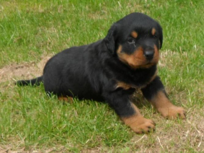 pets animals dogs working group rottweiler german puppies sale