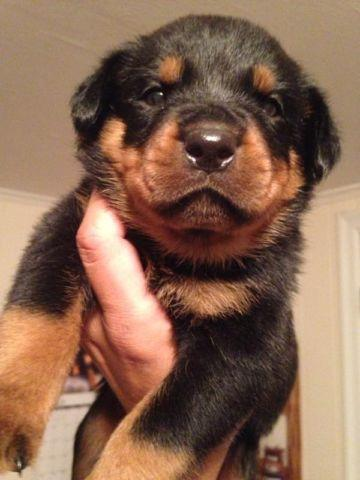 German Rottweiler Puppies For Sale Now For Sale In Wilkes Barre