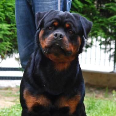 German Rottweiler Puppies World Champion For Sale In Haverford