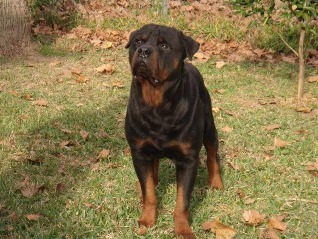 Rottweiler Puppies For Sale In Houston Texas Classifieds Buy And