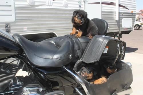 German Rottweilers