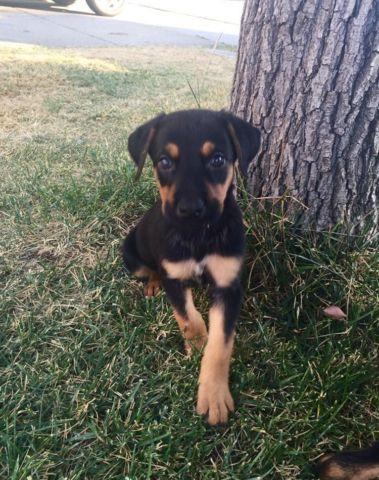 German Shepard Doberman Mix Puppies For Sale In Antioch
