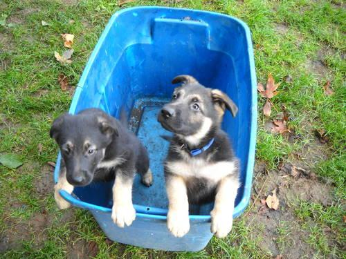 German Shepard Puppies 12 weeks old. 2 females. Have