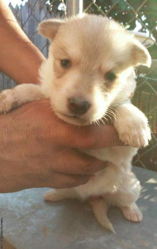 German Shepard Puppies For Sale For Sale In Amarillo Texas
