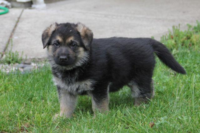 6 week old german shepherd puppies german shepherd akc champion line puppies 6 weeks old 1109