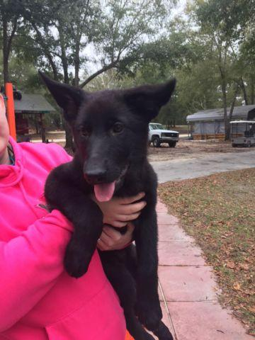German Shepherd AKC Female Puppy