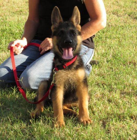German Shepherd, AKC, Long Coat, SOLD, Ask about others We
