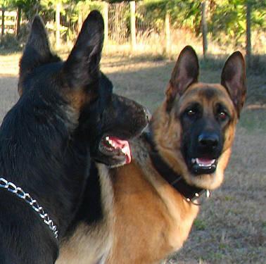 German Shepherd Puppies For Sale In Florida Classifieds Buy And