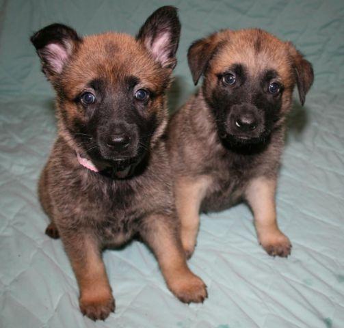 German Shepherd Belgian Malinois mixed Puppies for Sale in ...