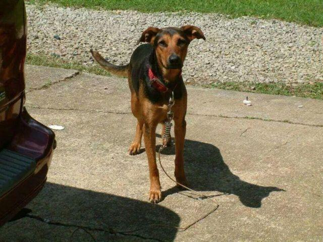 German Shepherd Doberman Mix To A Good Home For Sale In Bristol