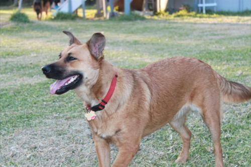 German Shepherd Dog - Akasha - Large - Young - Female -