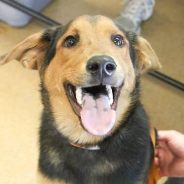German Shepherd Dog Arnold Large Young Male Dog For Sale In Bowling Green Kentucky