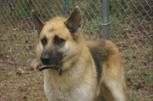 German Shepherd Dog - Buddy 2 - Large - Adult - Male -
