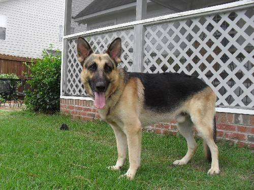 german shepherd dog chaka large young male dog for sale in angier north carolina. Black Bedroom Furniture Sets. Home Design Ideas