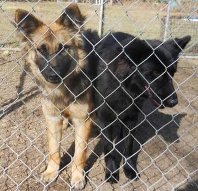 German Shepherd Dog - Louise - Large - Young - Female -