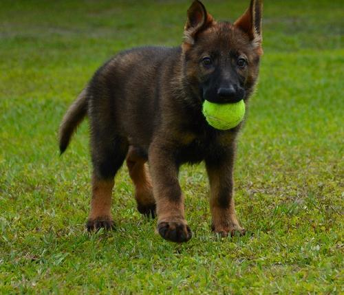 German Shepherd Dog Puppy for Sale - Adoption, Rescue