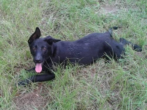 German Shepherd Dog - Smiley - Large - Young - Female -