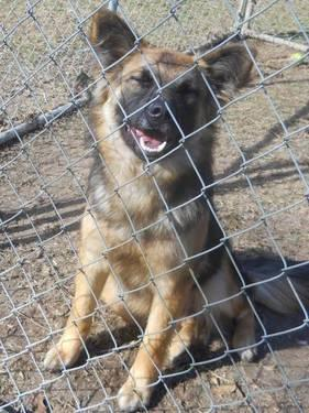 German Shepherd Dog - Thelma - Large - Young - Female -