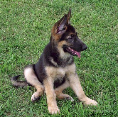Wolf german shepherd