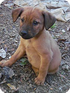 German Shepherd Golden Retriever Mix Puppies For Sale In Rising Sun