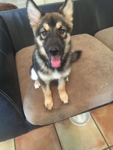 German Shepherd/Husky Mix 4 Months