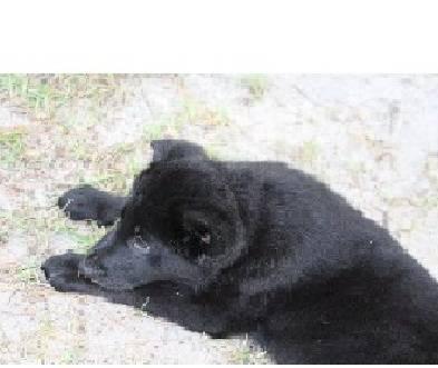 German Shepherd Husky Mix Female Pups All Black W