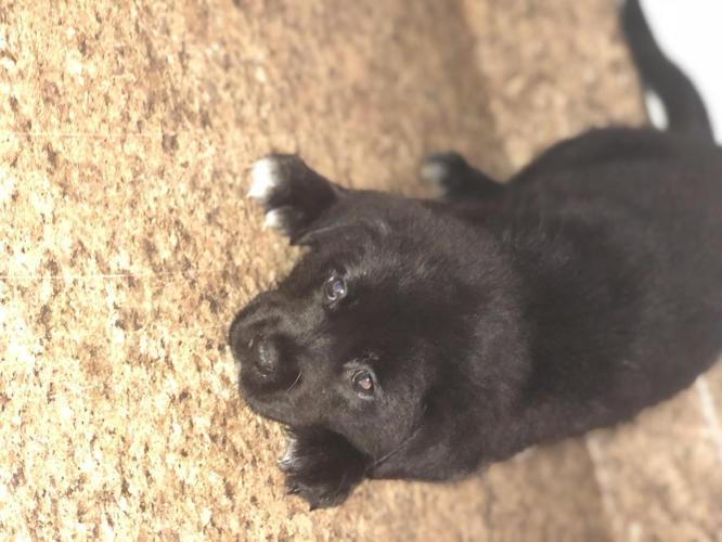 German Shepherd/ Lab Mix Puppies
