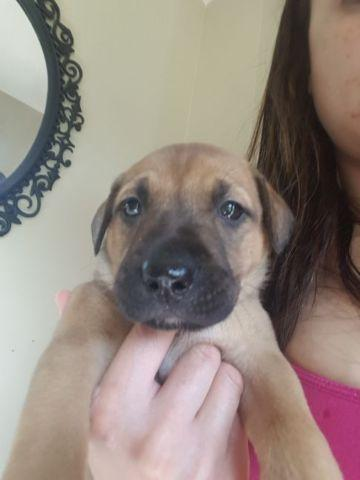 lab german shepherd mix puppies for sale german shepherd lab mix puppy for sale in derry new 2070