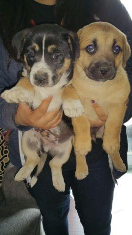 lab german shepherd mix puppies for sale german shepherd labrador mix puppies for sale in artesia 2630