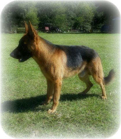 German Shepherd Male AKC West German lines.