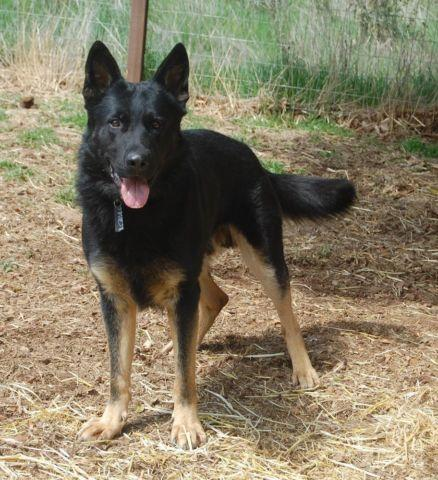 German Shepherd Male Beautiful to the right home