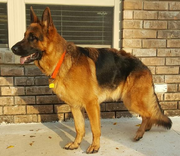 German Shepherd Male Stud For Sale In San Antonio Texas Classified