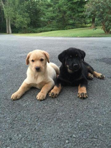 lab german shepherd mix puppies for sale german shepherd mix lab dogs for sale in schuyler new 434