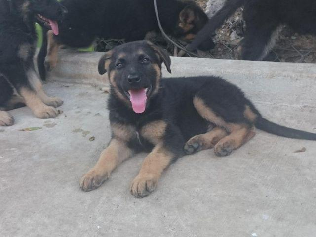 German Shepherd Puppies 9 Weeks For Sale In San Antonio Texas