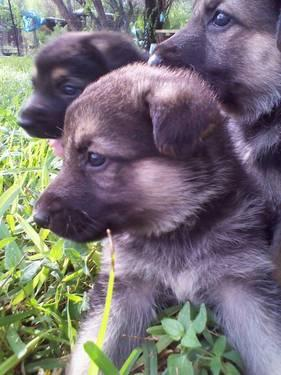 german shepherd puppies for sale in san antonio german shepherd puppies akc black and tan and very large 7009