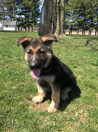 German Shepherd Puppies For Sale In Centreville Michigan Classified