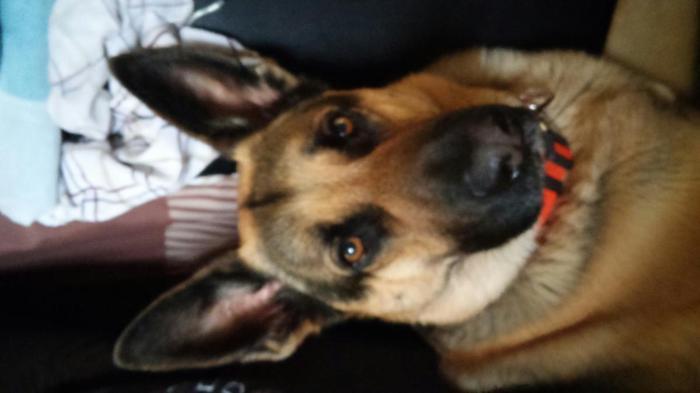German Shepherd Puppies For Sale In Vassar Michigan Classified