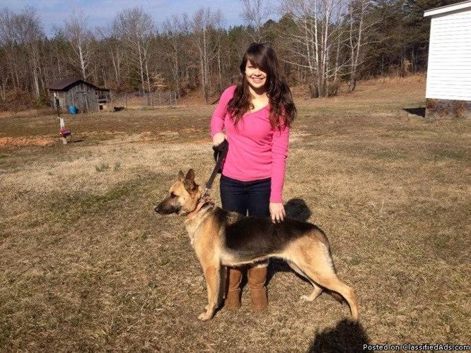 German Shepherd Puppies For Sale In Lynchburg Virginia Classified