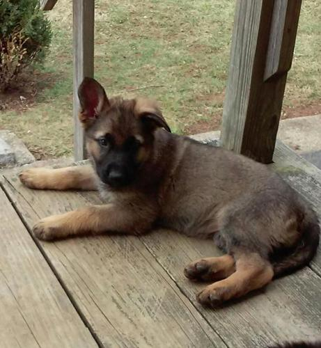German Shepherd Puppies For Sale In Baltimore Maryland Classified