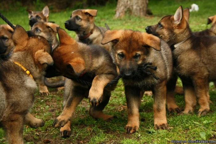 Trained Dogs For Sale In South Carolina