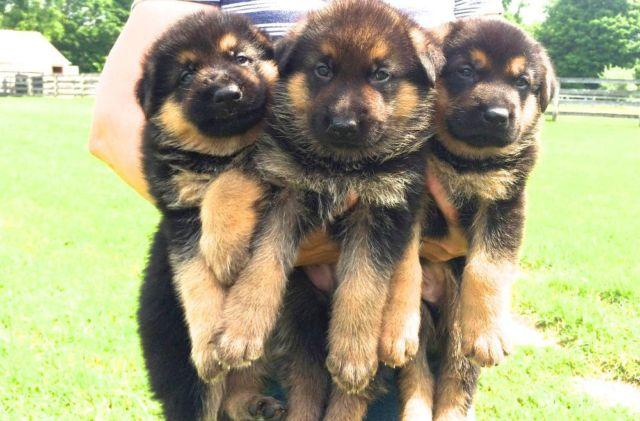 Pets And Animals For Sale In North Salem New York Puppy And